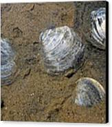 Cape Cod Clam Shells Canvas Print by Juergen Roth