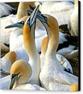 Cape Gannet Courtship Canvas Print by Bruce J Robinson