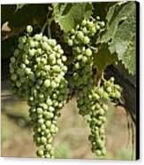 Casa Blanca Valley, Wine Growing Region Canvas Print by Richard Nowitz