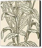Centaurea Montana, Bachelors Button Canvas Print by Science Source