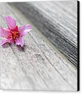 Cherry Blossom On Bench Canvas Print by Lisa Phillips