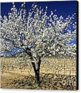 Cherry Tree Canvas Print by Bernard Jaubert
