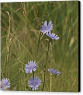 Chicory 2765 Canvas Print by Michael Peychich