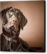 Chocolate Labrador Retriever Portrait Canvas Print by David DuChemin
