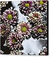 Chrysanthemum 3 Canvas Print by Skip Nall