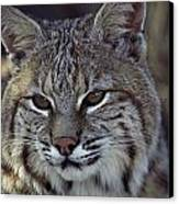Close-up Of A Bobcat Canvas Print by Dr. Maurice G. Hornocker