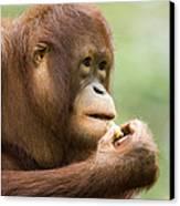 Close-up Of An Orangutan Pongo Pygmaeus Canvas Print by Tim Laman