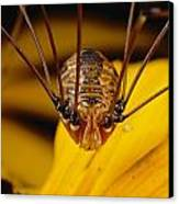 Close View Of A Daddy Longlegs Canvas Print by Darlyne A. Murawski