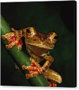 Close View Of A Harlequin Tree Frog Canvas Print by Tim Laman