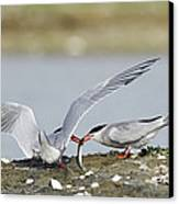 Common Terns Canvas Print by Duncan Shaw