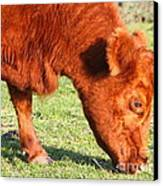 Cow Grazing In The Field . 7d9931 Canvas Print by Wingsdomain Art and Photography
