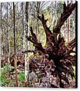 Cypress Roots Canvas Print by Kristin Elmquist