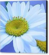 Darling Daisies Canvas Print by Becky Lodes