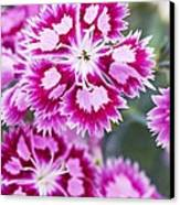 Dianthus Cranberry Ice Flowers Canvas Print by Jon Stokes
