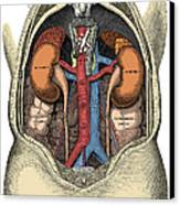 Dissection Of The Abdomen Canvas Print by Science Source