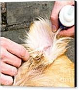 Dog Grooming Canvas Print by Photo Researchers, Inc.