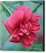Double Hibiscus Canvas Print by Carol Groenen