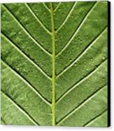 Drops On Poinsettia Leaf Canvas Print by Daniel Kulinski