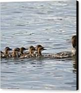 Duck And Ducklings Swimming In A Row Canvas Print by Keith Levit