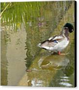Duck On A Ledge Canvas Print by Silvie Kendall