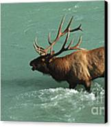 Elk In The Athabasca River Canvas Print by Bob Christopher