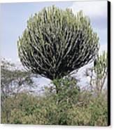 Euphorbia Candelabrum Canvas Print by Adrian T Sumner