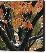 Fall Foliage Of Maple Tree After An Canvas Print by Tim Laman