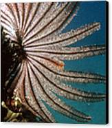 Featherstar Canvas Print by Peter Scoones