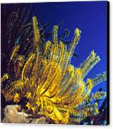 Featherstars On Coral Canvas Print by Peter Scoones