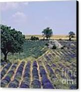 Field Of Lavender. Sault. Vaucluse Canvas Print by Bernard Jaubert