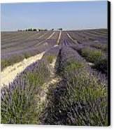 Field Of Lavender. Valensole. Provence Canvas Print by Bernard Jaubert