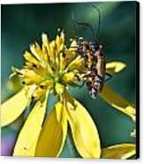 Firefly Fornication Canvas Print by Douglas Barnett