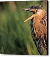 Fledgling Great Blue Heron Canvas Print by Natural Selection Bill Byrne