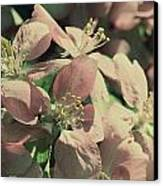 Flowering Crabapple Muted Canvas Print by Mark J Seefeldt