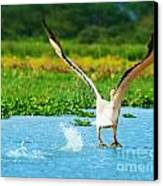 Flying Great White Pelican Canvas Print by Anna Omelchenko