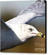 Flying Seagull Closeup Canvas Print by Wingsdomain Art and Photography