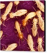 Formosan Termites Canvas Print by Science Source