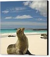 Galapagos Sea Lions Resting On A White Canvas Print by Annie Griffiths