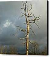 Ghost Tree Canvas Print by Douglas Barnett