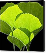 Ginkgo Leaves Canvas Print by Pasieka