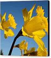 Glowing Yellow Daffodil Flowers Art Prints Spring Canvas Print by Baslee Troutman