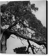 Gnarly Cedar Tree Canvas Print by Teresa Mucha