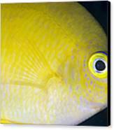 Golden Damsel Close-up, Papua New Canvas Print by Steve Jones
