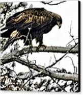 Golden Eagle Watches Canvas Print by Don Mann