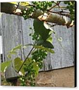 Green Grapes On Rusted Arbor Canvas Print by Deb Martin-Webster