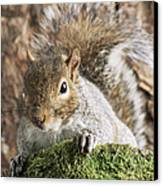 Grey Squirrel Canvas Print by David Aubrey
