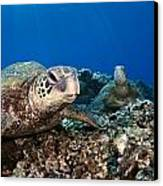 Hawaiian Turtle On Pacific Reef Canvas Print by Dave Fleetham