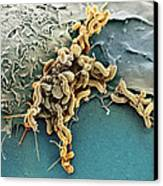 Helicobacter Pylori Bacteria, Sem Canvas Print by