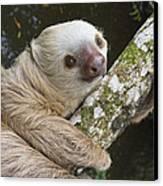 Hoffmanns Two-toed Sloth Costa Rica Canvas Print by Suzi Eszterhas