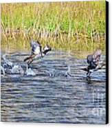 Hooded Mergansers Take Flight Canvas Print by Lynda Dawson-Youngclaus